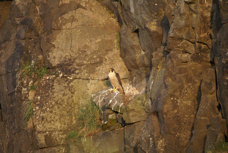 Peregrine Falcon by Marc Ruddock