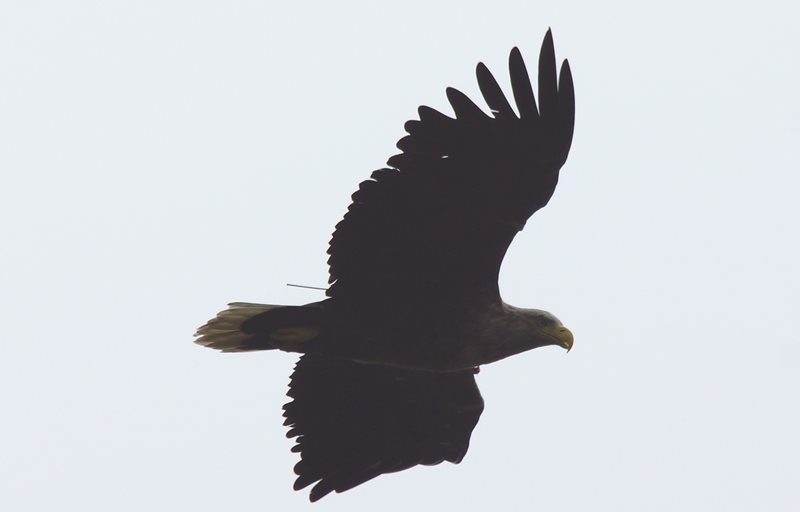 White Tailed Eagle by Marc Ruddock