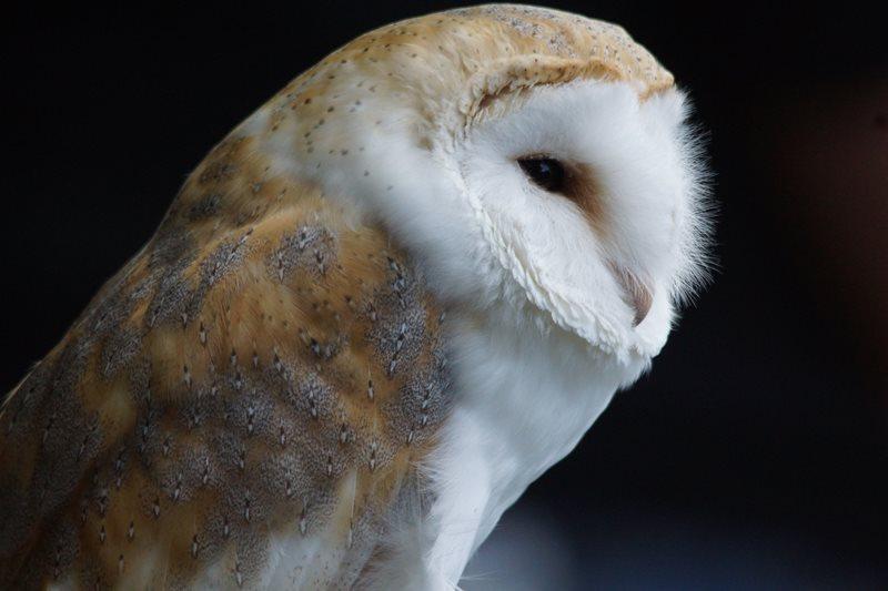 Barn Owl by Marc Ruddock