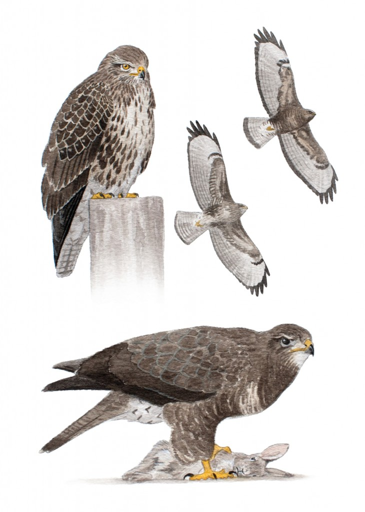 common buzzard northern ireland raptor study group