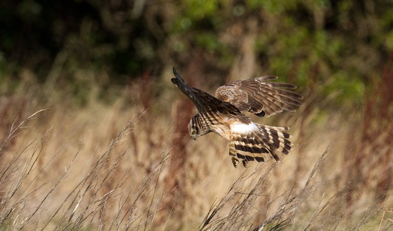 Hen Harrier by Shay Connolly