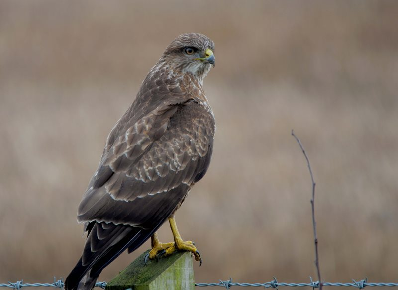 Common Buzzard by Christine Cassidy