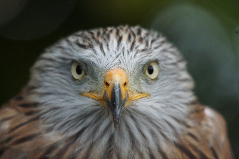 Red Kite by Marc Ruddock