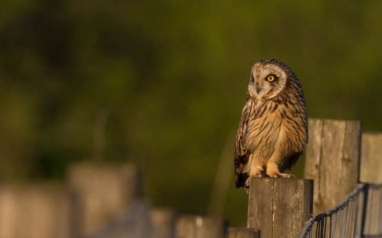 Short Eared Owl by Shay Connolly