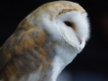 Barn Owl by Marc Ruddock