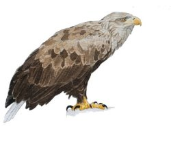 white tailed eagle2