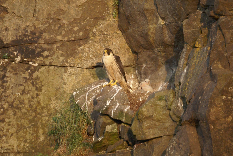 Peregrine on nest (c) Marc Ruddock
