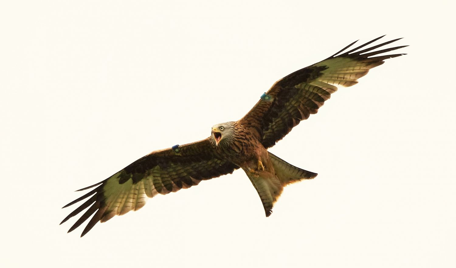 red kite chasing a buzzard away from its nest (c) Marc Ruddock